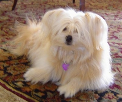 A white long haired Shiranian small mix breed dog is laying on a red oriental rug in front of a table looking forward.