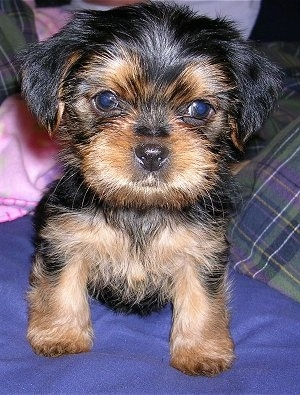 Close up front view - A furry little black and tan Shorkie Tzu puppy is sitting on a blue pillow and it is looking forward.