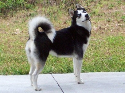 The right side of a black and white Siberian Husky that is standing across a concrete sidewalk. It is looking forward and its head is tilted to the left. The dog's tail us curled up over its back and it has blue eyes.