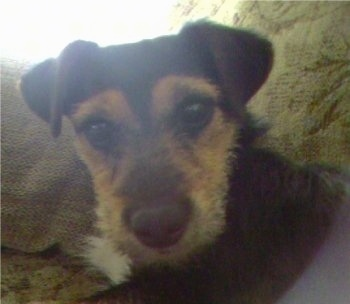 Close up front view head shot - A wiry-looking black with tan Silky Jack dog is laying on a couch looking forward with its head slightly tilted to the left. It has v-shaped ears that fold over to the front.