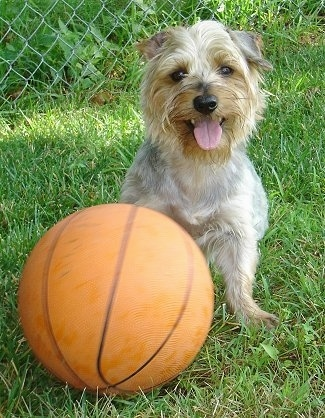A grey and tan Silky Terrier dog is sitting in grass in front of a basketball. It is looking forward, its mouth is open and its tongue is sticking out. Its nose and eyes are black.