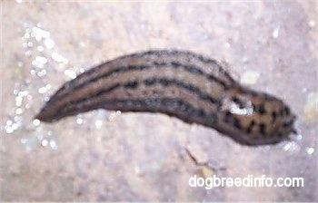 Leopard slug on a wet surface