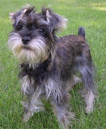 Miniature Schnauzer Puppies on Huey  The Snorkie  Yorkie   Mini Schnauzer  Puppy At 6 Months Old