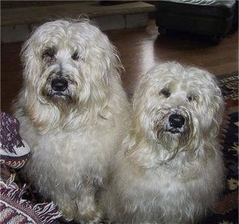 Two thick, long haired, white Soft Coated Wheaten Terriers are sitting on a rug in front of a couch and they are looking forward.