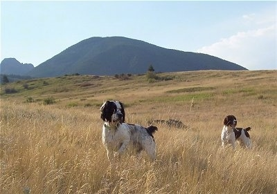 A black and white Springer Spaniel and a liver and white Springer Spaniel are standing in tall brown grass in a feild with a view of a mountain behind them and they both are looking to the right.