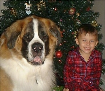 Close up head shot - A fluffy brown with white and black Saint Bernard dog is sitting next to a smiling boy in a red plaid shirt. There is a christmas tree behind them. The dog is bigger than the boy.