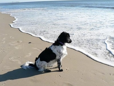 The back right side of a black and white Stabyhoun dog that is sitting in sand at a beach and it is looking at the waves move across the sand.