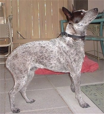 Spike, the Stumpy Tail Cattle Dog