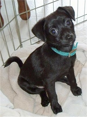 Front side view - The shiny coated, right side of a black Taco Terrier puppy that is sitting on a blanket. It is looking forward and its head is tilted back. It has wide round eyes, a black nose, a small snout and little paws.