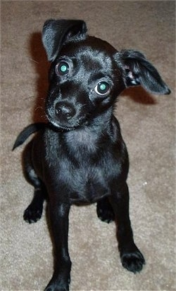 Close up front view - A shiny coated, black Taco Terrier is sitting on a carpet, it is looking forward and its head is tilted to the right. It has wide round eyes and one ear that folds to the front and one that folds out to the side.