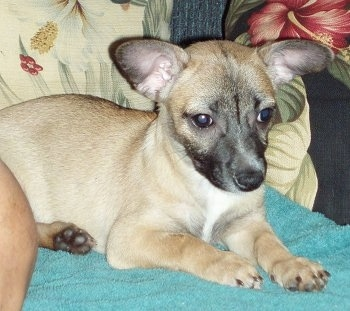 Poneko, the Taco Terrier (Chihuahua / Toy Fox Terrier) puppy at 12