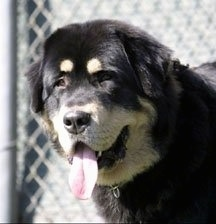 Close up head shot - A black and tan Tibetan Mastiff is looking forward, its mouth is open and its tongue is sticking out. There is a chainlink fence behind it. The dog has a large head and squinty brown eyes. The dog has ears that are hanging down to the sides.