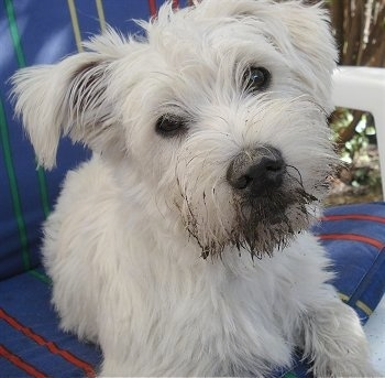 Close up - A white Wauzer dog is laying on a plastic chair and its head is tilted to the left. The dog has mud on the front of its snout and on its nose and round dark eyes.