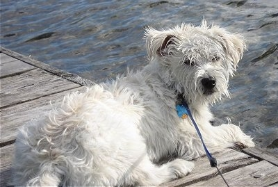 Tommy, the Wauzer (Schnauzer / Westie mix) at 7 months old
