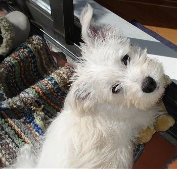 Tommy, the Wauzer (Schnauzer / Westie mix) as a puppy