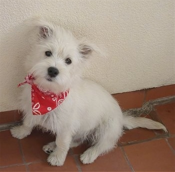 The left side of a white Wauzer puppy that is sitting against a white wall on top of a brick floor and it is wearing a red bandana. It has dark round eyes and a wiry looking coat.