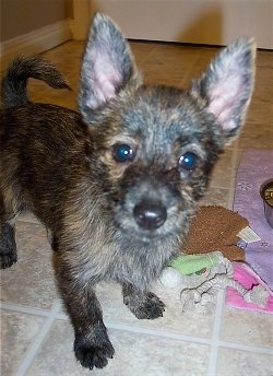 The front right side of a brown and black brindle Weeranian puppy that is standing across a tiled floor. There is a couple toys next to it. The dog has large pointy perk ears, a black noes and dark round eyes.