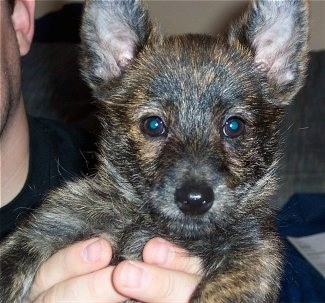 Close up front view head shot - A black and brown brindle Weeranian puppy is being held in the air towards the shoulder of a person. It has large perk ears, dark brown eyes and a black nose.