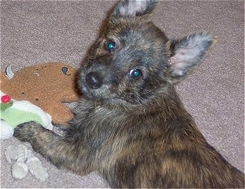 The back left side of a brown with black brindle Weeranian puppy laying across a tan carpet and there is a toy to the left of it. It is looking up and back. The pup has a black nose, large round brown eyes and perk ears.