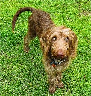 A brown wavy coated Weimardoodle dog is standing in a yard and it is looking up. The dog has wide round yellow eyes, a brown nose and a long tail.