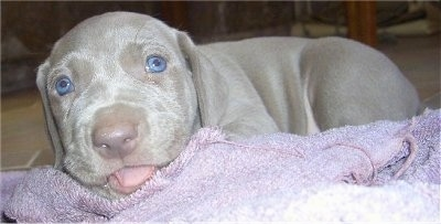 Close up - The left side of a young blue-eyed Weimaraner puppy that is laying on top of a light purple towel and its tongue is sticking out.