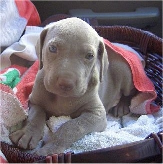 The front left side of a young Weimaraner puppy that is laying in a wicker basket under a beach towel and it is looking forward.