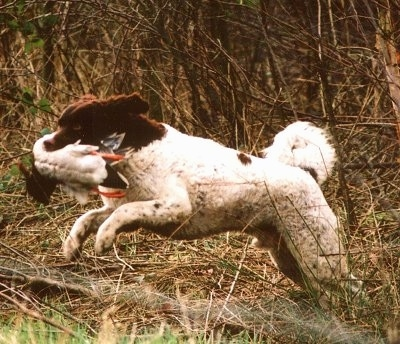 Action shot - The left side of a white with black Wetterhoun dog running across a field with a duck in its mouth. Its front paws are in the air and it is leaping with its back legs pushing off of the ground.
