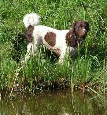 The right side of a curly coated white with brown wet Wetterhoun dog standing in tall grass near a small pond. The dog has short hair on its face and snout and longer hair on its body, ears and ring tail that curls up over its back.