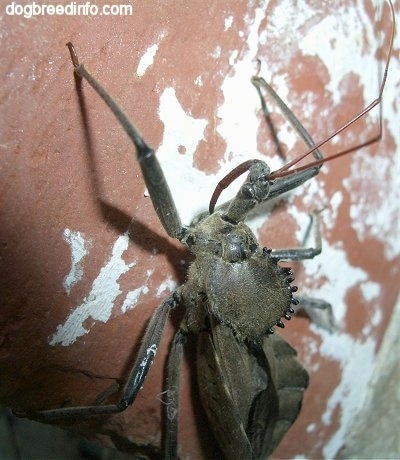 Close Up - Wheel Bug going up a brick surface