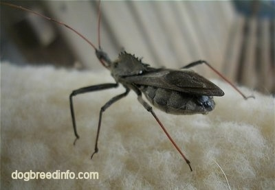 Wheel Bug on exposed cotton