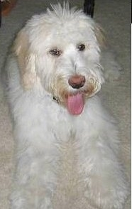 Adult Whoodle (Soft Coated Wheaten Terrier/Poodle hybrid)
