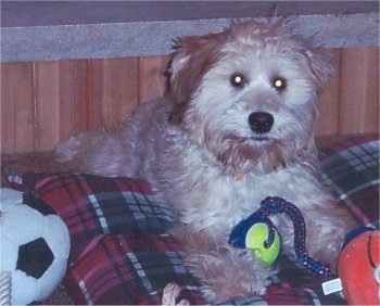 Front view - A soft fluffy looking tan Whoodle is layign on top of a plaid pillow and it is looking forward. There is a ball on a rope toy in front of it. The dog has a black nose and round eyes.
