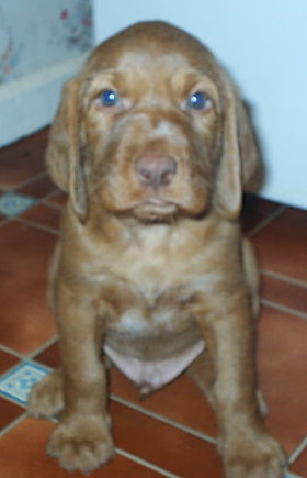Front view - A small red Wiredhaired Vizsla puppy is sitting on a tiled floor and it is looking forward.