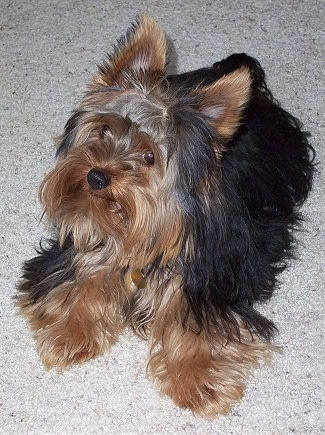 Top down view of a thick coated, black with brown Yorkshire Terrier dog laying on a tan rug. It is looking up and to the left. The long hair on its face is laying flat and fringing out showing a smooth snout and wide brown eyes.