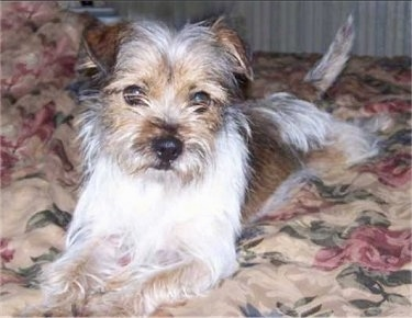 A scruffy looking white with brown Yorkie Russell is laying across a bed with floral print sheets and it is looking forward. Its small ears fold over to the front.