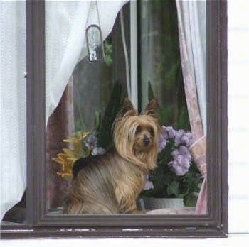 Tadger, the Yorkie gazing our the window in the Highlands of Scotland