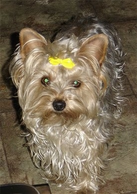 A long wavy coated tan and black Yorkipoo dog standing across a tiled floor, it is looking forward and it has a yellow ribbon in its hair. Its eyes are wide and round and its nose is black.