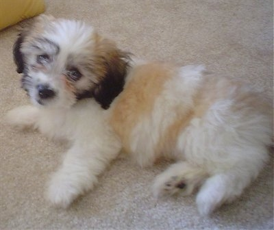 The left side of a soft looking white with tan and brown Zuchon puppy laying across a tan carpet. Its head is tilted to the right and it is looking forward.