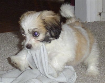 The front left side of a white with tan and brown Zuchon puppy that is a blanket in its mouth. The puppy looks very playful and soft.