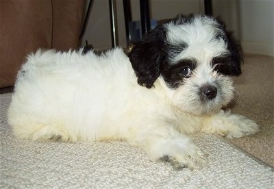 The right side of a white with black Zuchon puppy that is laying across a carpet and it is looking forward.