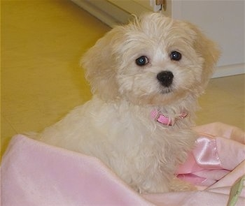 Zuchon Shichon Dog Breed Pictures 2
