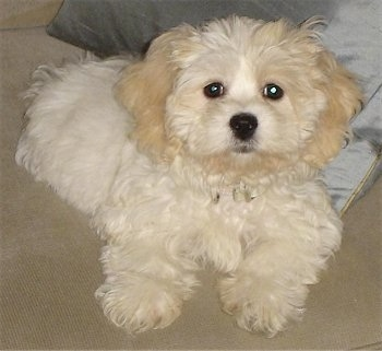 A thick coated, white and tan, soft looking, Zuchon puppy is laying down on a carpeted surface and it is looking up. Its hair is wavy, it has a black nose and dark round eyes.