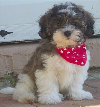 The front right side of a gray and white Zuchon puppy that is sitting across a brick surface outside and it is wearing a red bandana with white paw prints on it. The dog is soft, thick coated with ears that hang down to the sides. It looks like a stuffed toy.