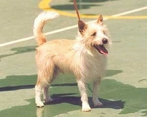 A wiry tan with white Portuguese Podengo dog is standing on a tennis court and it is looking to the right. Its mouth is open and tongue is out.