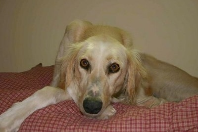Front view - A tan with white Saluki is laying down on a bed and it is looking forward.