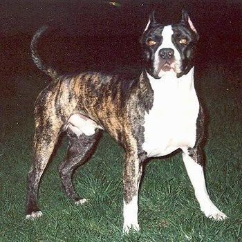 The front right side of a brindle with white American Bandogge Mastiff is standing on grass with its tail up and it is looking forward.