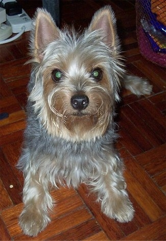A soft looking, tan and grey Silky Terrier dog is laying on a wodd tiled floor, it is looking up and forward.