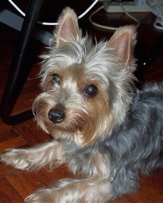 Close up - The front left side of a soft coated, long haired tan and grey Silky Terrier dog laying across a wood tiled floor looking to the left and its head is slightly turned forward. The dog has perk ears, a black nose and wide round eyes.