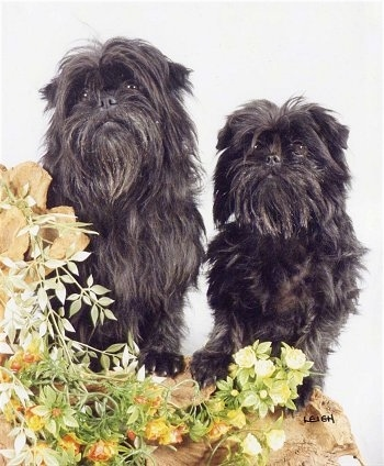 Two black Affenpinscher Puppies are standing in front of a white backdrop with flowers in front of them