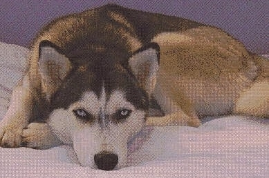 A black with white and gray blue-eyed Alusky is laying down in a circle on a bed and it is looking forward.